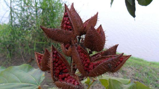 Lipstick tree seed pod